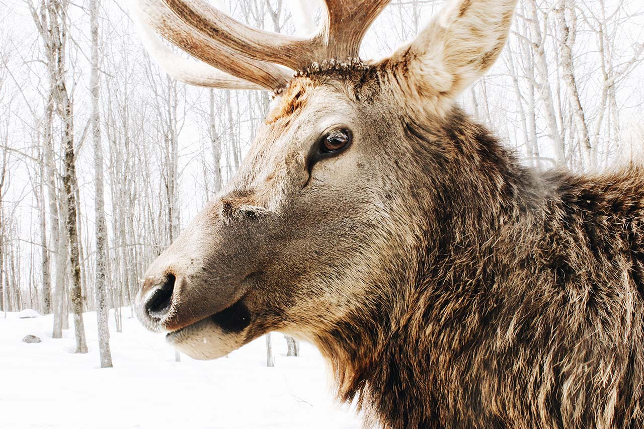 Close up of a caribou at Parc Omega