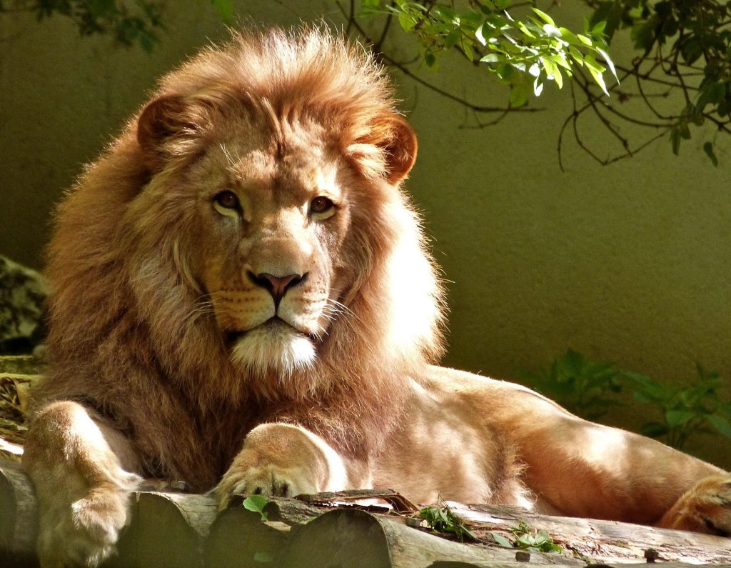 Large male lion looking right at the reader